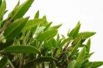 Uzgoj ljekovitog bilja u lončanicama