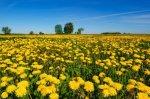 Maslačak - ljekovita biljka iz vašeg dvorišta