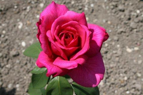 Što je vrt bez ruža